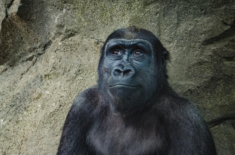 szympans obczaja